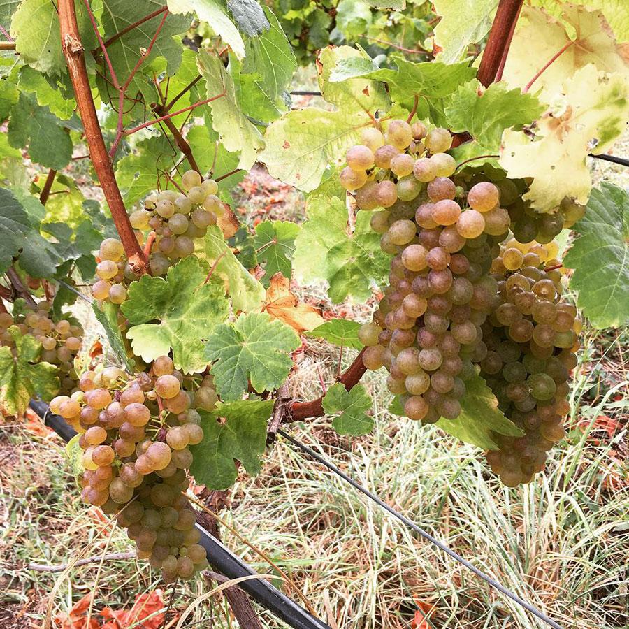 UVA ALBILLO CRIOLLO - Tierra Fundida - Vinos Canarios artesanales