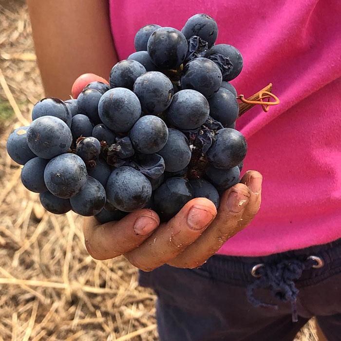 UVAS CASTELLANA NEGRA - Tierra Fundida - Vinos Canarios artesanales